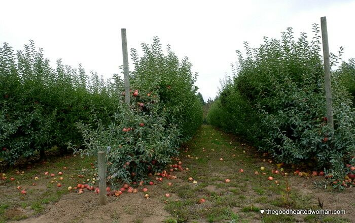 Oregon Heritage Farms - Apple Rows | The Good Hearted Woman