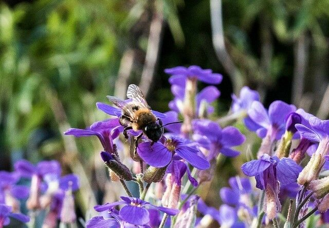 Mason Bee with Purple Flowers - Raising Mason Bees | The Good Hearted Woman