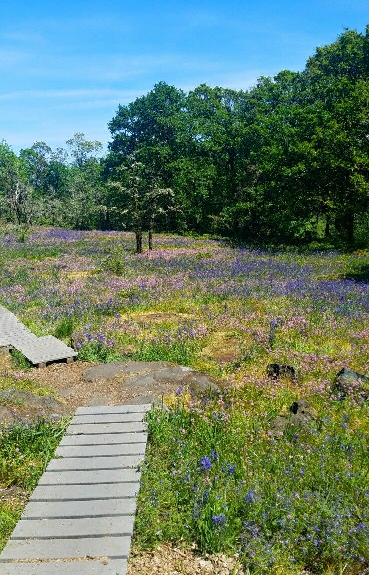 Short, easy, family-friendly wildflower hike - Camassia Nature Preserve {West Linn, Oregon} | The Good Hearted Woman